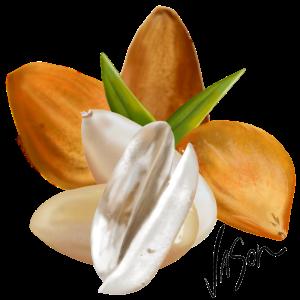 Illustration of Bunya Nuts